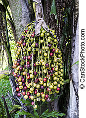 Fishtail palm seed - Colorful Fishtail palm seed on tree