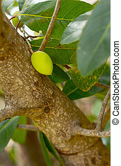 Hog Plum on tree