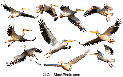 collection of pelicans in flight pelecanus onocrotalus...