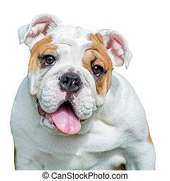 english bulldog isolate on white background - english...