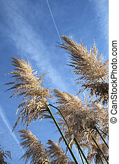 pampas grass growing against the blue sky