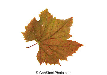 Colorful leaf isolated on white