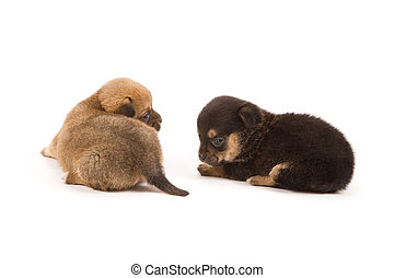Puppies - Two cute puppies isolated on white