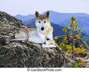 wolf on stone in wildness area - wolf lays on stone in...