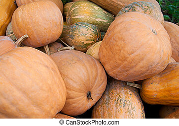 Orange Pumpkins - Many big orange pumpkins - Autumn harvest