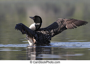 Common Loon Drying its Wings - Common Loon (Gavia immer)...