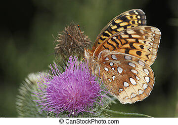 Great Spangled Fritillary Pollinating a Canada Thistle -...