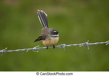 Faintail Bird - Fantail bird native to New Zealand sitting...
