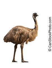 emu isolated on white background - an australian emu...
