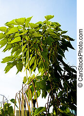 Catalpa genus of plants in the family bignoniaceae