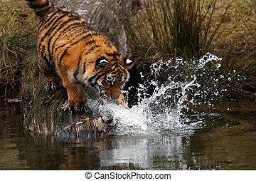 Siberian Tiger cub - Cute Siberian tiger cub trying to catch...