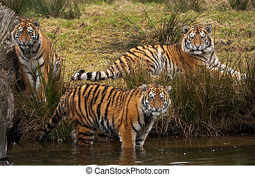 Siberian Tiger cubs - three cute Siberian tiger cubs looking...