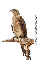 Hawk stand wood on white background.