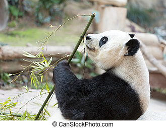 Cute Giant Panda Eating Bamboo - Portrait of giant panda...