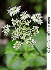 planta, flores, blanco, alcaravea