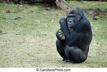 gorilla - close up of a big  gorilla