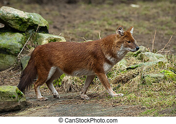 Dhole Cuon alpinus, also known as the Asiatic Wild Dog,...