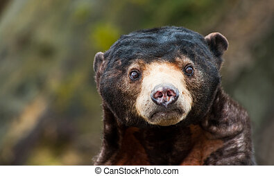 Sun Bear (Helarctos malayanus) - Close up of a Sun Bear...