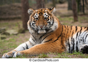 Siberian tiger cub - close up of a cute Siberian tiger cub...
