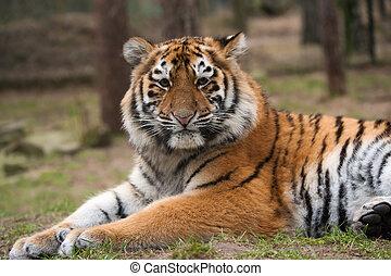Siberian tiger cub - close up of a cute Siberian tiger cub...