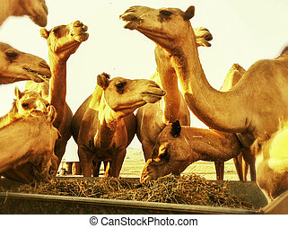 Camels  - Close-up of Camels Feeding