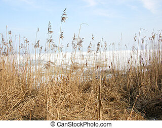 Bodensee - view through reed over the Bodensee Germany
