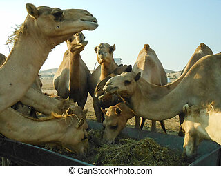 Camels in the desert - Camels Feeding