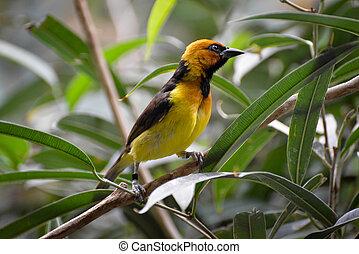Black-necked Weaver Ploceus nigricollis