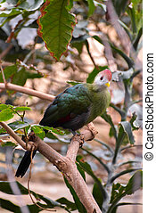Red-crested Turaco (Tauraco erythrolophus)