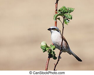 Red backed Shrike, Lanius collurio