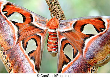 Atlas moth closer