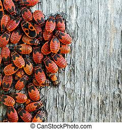 insectos, rojo