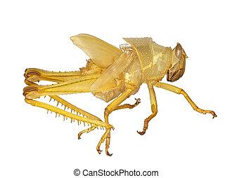 Grasshopper exoskeleton macro over white - Interesting...