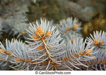 pine  branch - pine branch