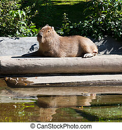 capybara is basking in sun outdoors