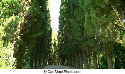 cypress alley - Kind on avenue of cypresses