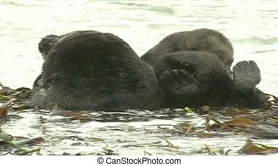 sea ape - The sea otter has a rest ashore
