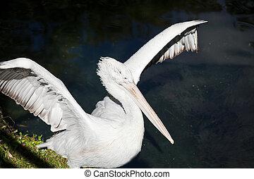 pelican spread its wings - dalmatian pelican spread its...