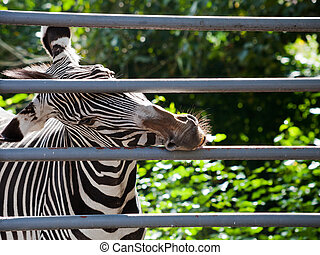 Zebra gnawing iron cage - imperial zebra gnawing iron cage...