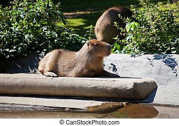 capybara outdoors in summer day