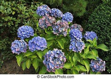 Blue Hydrangea - Closeup photo of a blue hydrangea