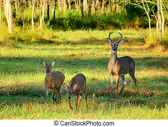 Whitetail Deer Buck standing in a field with two fawns.