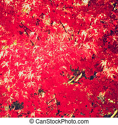 Retro look Maple leaves - Vintage looking Canadian Red Maple...