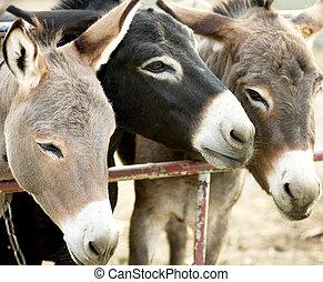 Esel, Bauernhof