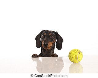 Bal,  tennis,  tiger, achtergrond, witte,  Dachshund