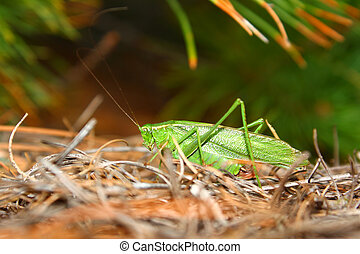 Fork-tailed Bush Katydid Scudderia furcata in the Northern...