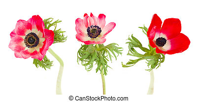 three anemone flowers - three red anemone flowers isolated...