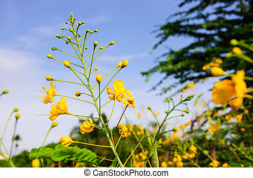 Yellow Peacock flowers on blue sky.