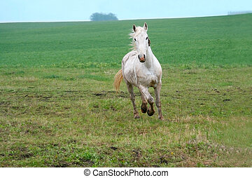 Running Horse - young white horse with a light mane running...