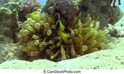 Clown Anemonefish on Coral Reef, Red sea